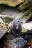 Fischerei des schwarzen Bären Stockfotos