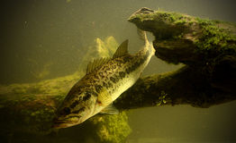 Fischerei für Forellenbarschfische Lizenzfreie Stockfotografie