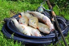 Fischereifang - zander, Döbel und Stange lizenzfreie stockbilder