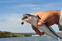 Fischereiköder im Mund des Fisches Stockbild