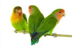 Fischeri de portrait et perroquet de la perruche deux Image stock