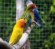 Fischeri do Agapornis do papagaio (o periquito de Fischer) Fotos de Stock Royalty Free