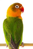 Fischeri lovebird parrot. On a white background Stock Image