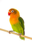 Fischeri lovebird parrot. On a white background Stock Photo