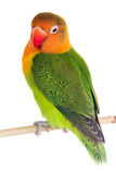 Fischeri lovebird parrot Royalty Free Stock Photo
