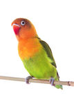 Fischeri lovebird parrot Stock Photo