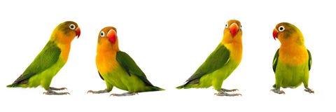 Fischeri lovebirds zdjęcia stock