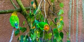 Fischers爱情鸟坐从非洲,普遍的宠物的一只树枝,五颜六色和热带小鹦鹉在养鸟方面 免版税图库摄影