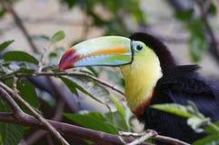 Fischertukan, Ramphastos-sulfuratus, bei Poas Volcano National Park - Costa Rica lizenzfreies stockfoto