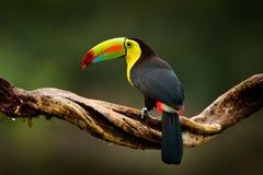 Fischertukan, Ramphastos-sulfuratus, Vogel mit großer Rechnung Tukan, das auf Niederlassung im Wald, Guatemala sitzt Naturreise h Lizenzfreie Stockfotografie