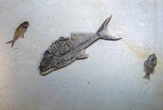 Fischfossil Diplomystus und Priscacara stockfoto