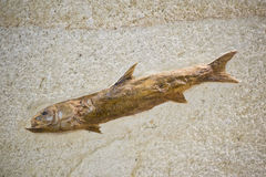 Fischfossil mit Haut Lizenzfreies Stockfoto