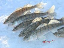 Fischhornhautflecke Stockbild