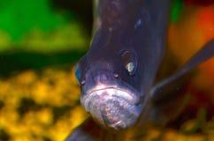 Fischindermesser Stockbilder