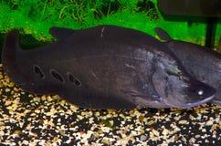 Fischindermesser Stockfotografie