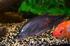Fischindermesser Stockfoto