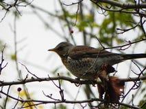 Fischio dell'uccello che si siede su un ramo Gli uccelli si alimentano la frutta della sorba in autunno Dettagli e primo piano fotografia stock
