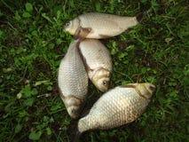 Fischkarpfen vom russischen Teich Lizenzfreies Stockbild