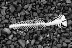 Fischknochen 3 Stockbild