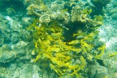 Fischschwarm, der nahe Koralle schwimmt Lizenzfreies Stockfoto