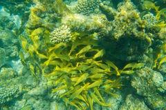 Fischschwarm, der nahe Korallenriff schwimmt Lizenzfreie Stockfotografie