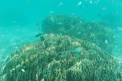 Fischschwarm, der nahe Riff schwimmt. Unterwasserschuß. Meeresflora und -fauna Lizenzfreie Stockbilder