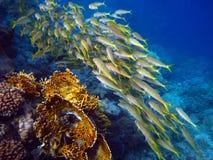 Fischschwarm an einem bunten Riff Lizenzfreie Stockfotografie