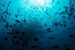 Fischschwarm in Fiji& x27; blaues Wasser s Lizenzfreie Stockfotografie