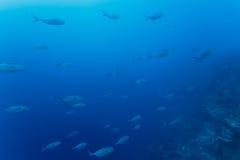 Fischschwarm schwimmt auf dem Korallenriff im hellen blauen Wasser von Karibischen Meeren Stockbilder