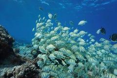 Fischschwarmstrafgefangene Surgeonfish Pazifischer Ozean Lizenzfreie Stockfotografie