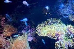 Fischschwimmen mit Anemone Lizenzfreies Stockfoto