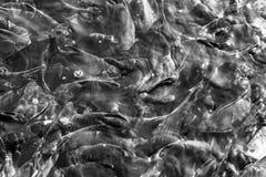 Fischschwimmen-Tierwild lebende tiere Schwarzweiss Stockbild