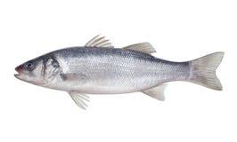 Fischseebarsch Stockfotos