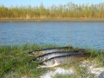 Fischspieß Stockfotos