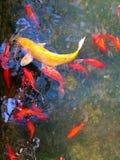 Fischteich mit Fischen Stockfotos