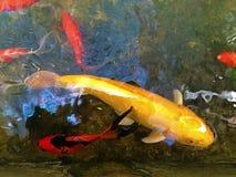 Fischteich mit Fischen Lizenzfreies Stockfoto