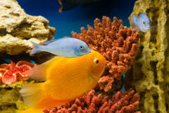 Fish (Рыбки). Photo of exotic fish in home aquarium Royalty Free Stock Photography