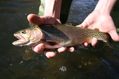 Fish #1. A nice large cutthroat trout caught in the weber river utah catch and release of course stock images