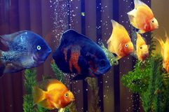 Fish 1. Golden and blue fish in tank Royalty Free Stock Images
