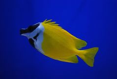 Fish. Tropical fish isolated on blue Royalty Free Stock Photography