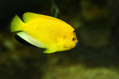 Fish. Lovely yellow tropical fish in the shallow areas are common Royalty Free Stock Photo