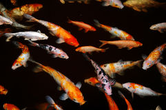 Fish. Around the pond at night Royalty Free Stock Photo