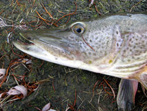 Fish. (Detail of pike head Royalty Free Stock Photo