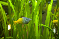 Fish. Colorful exotic fish in fish tank Stock Image