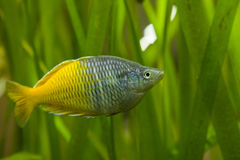 Fish. Colorful exotic fish in fish tank Royalty Free Stock Photography