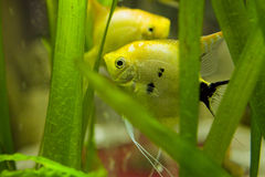 Fish. Colorful exotic fish in fish tank Royalty Free Stock Image