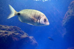 Fish. A fish swimming in an aquarium in the sunny day royalty free stock images