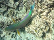 Fish. Underwater photo of beautiful tropical fish Stock Photography