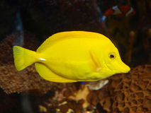Fish. Macro photo of yellow fish stock image