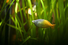 Fish. Colorfull exotic Fish in fish tank Royalty Free Stock Photo
